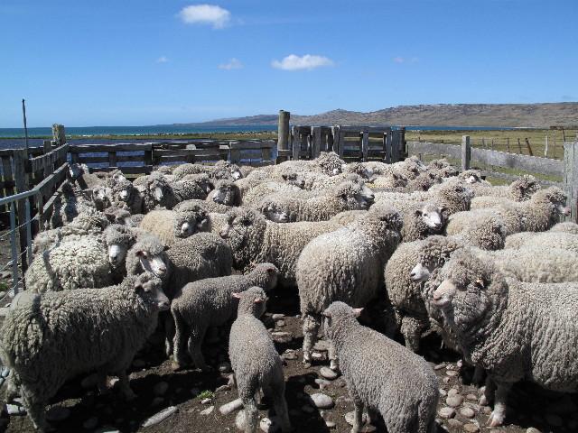 9-falkland-island-sheep