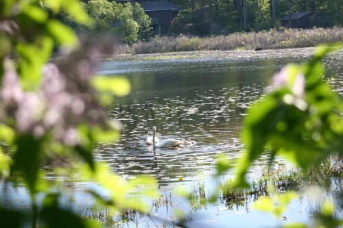 Cynets through the lilacs
