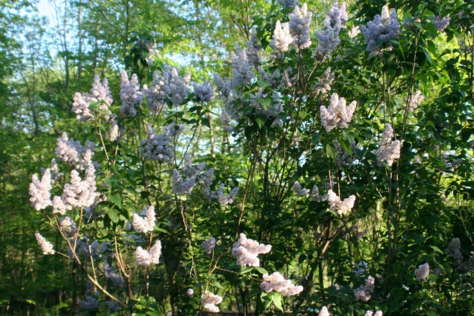 lilacs out our window