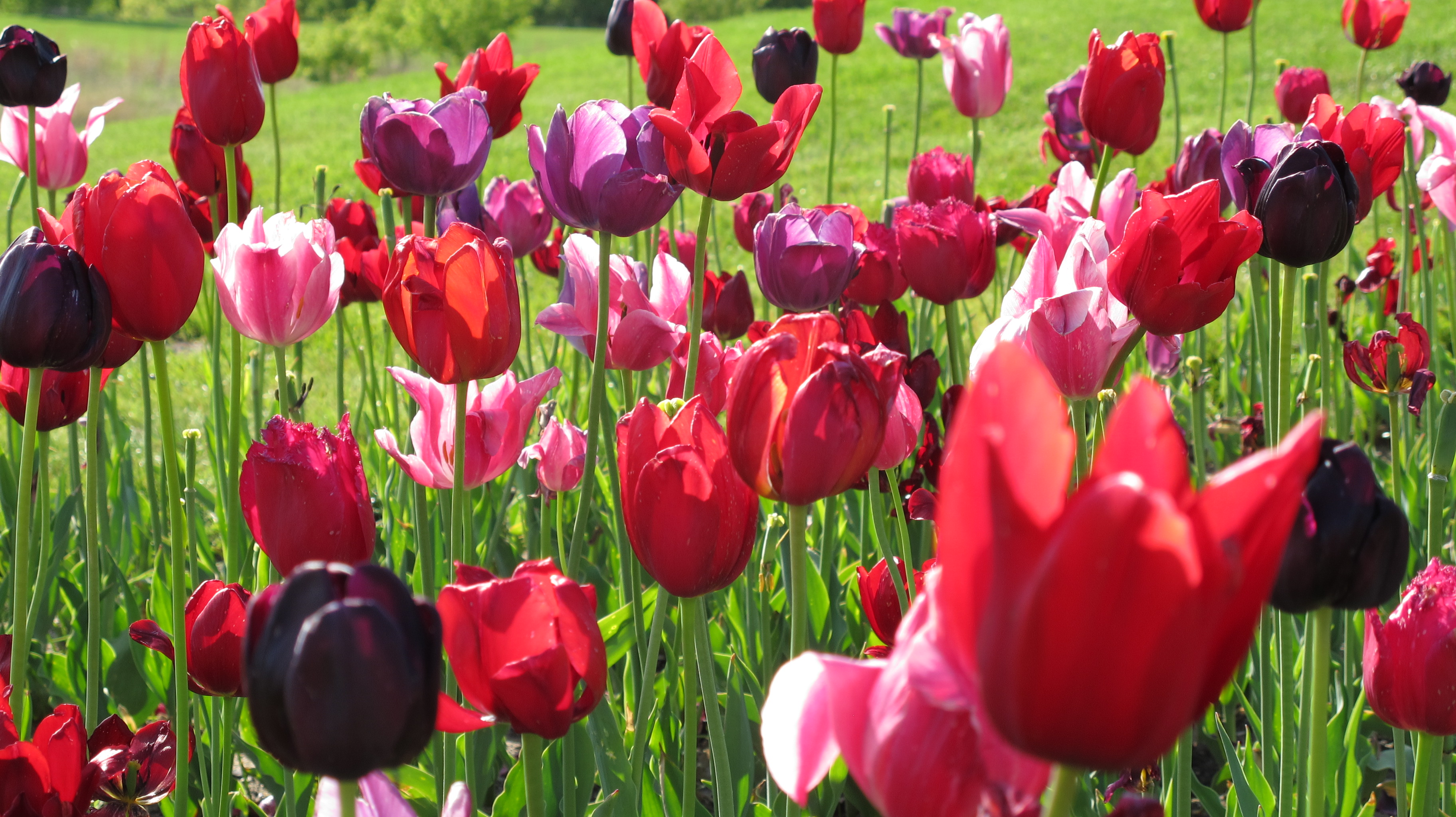 tulipmania the introduction of tulips to the netherlands in the 1500s 1 e s s e n t i a l investment 01 essential investment 10/11/06 2:34 pm page i 2 other economist books guide to analysing companies guide to business modelling.