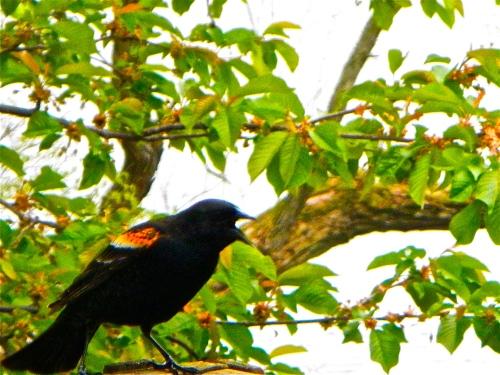 Calling Blackbird
