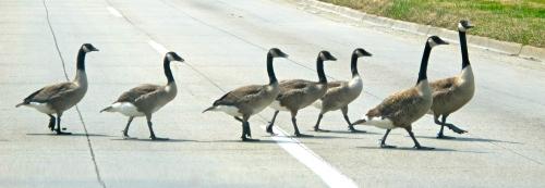 Geese Crossing Street