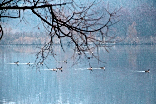 Geese in families on lake