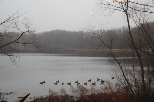 Geese on our lake