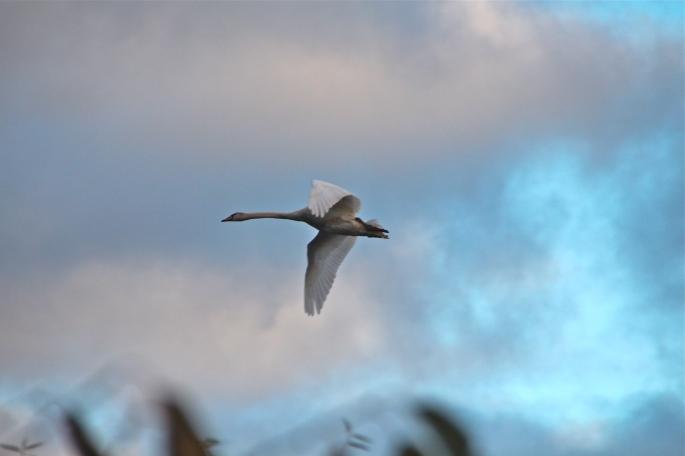 Goodbye Baby Swan