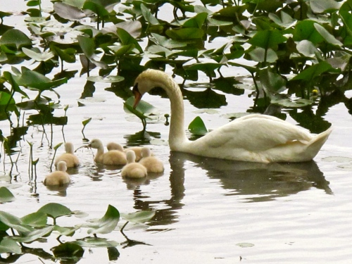 Swans copy