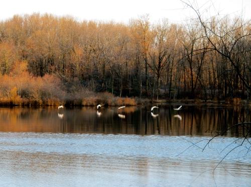 Swans in November
