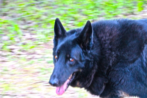 life expectancy of german shepherd abishai sir thomas more a man for all seasons pictures 2989