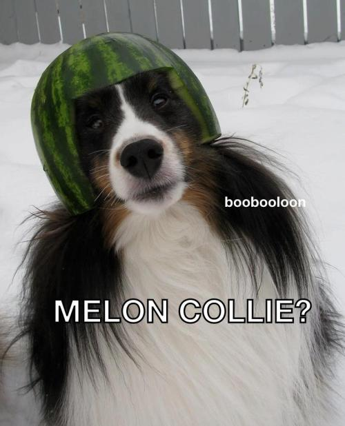 "from ""The Border Collie Community"" shared by Renie Johnson Smart"