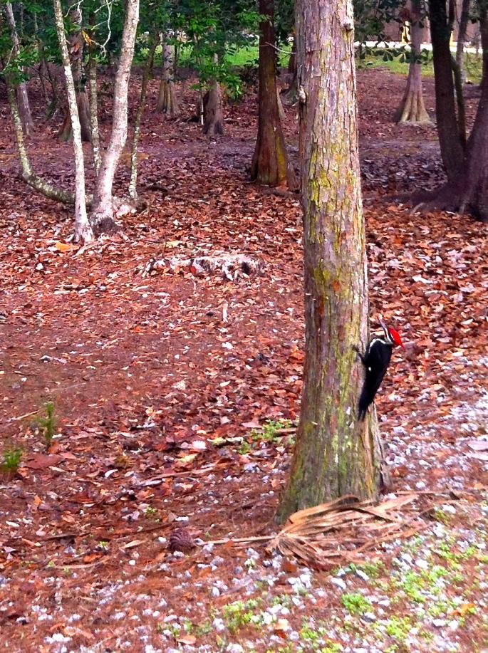 Pileated Woodpecker. Carl J. copy