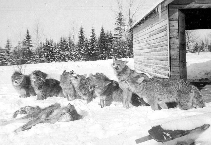 Coyotes Phyllis Suggitt