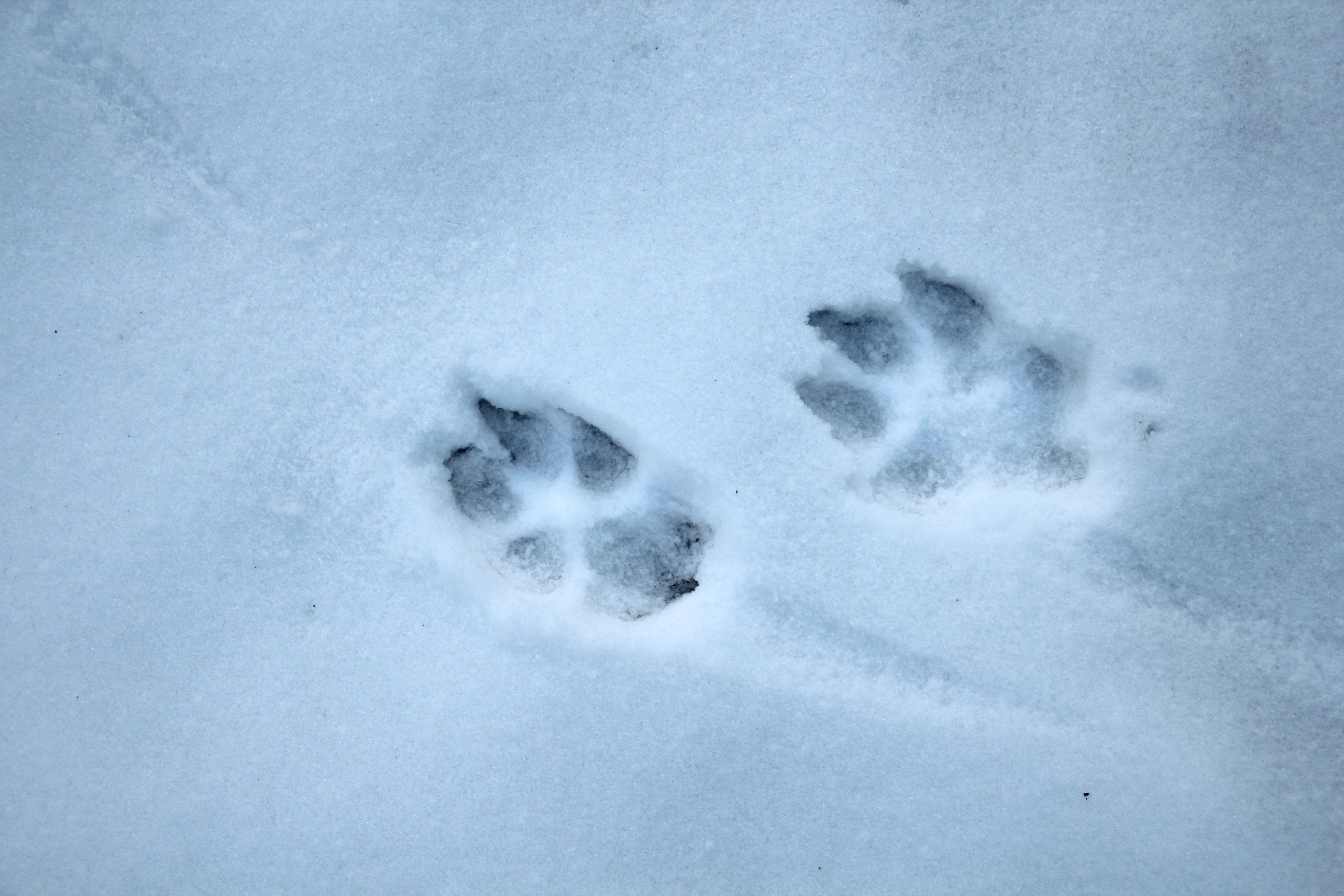 Identifying common animal tracks deer tracks dog tracks summer abby publicscrutiny Choice Image