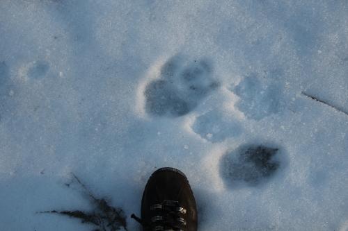 Bobcat?