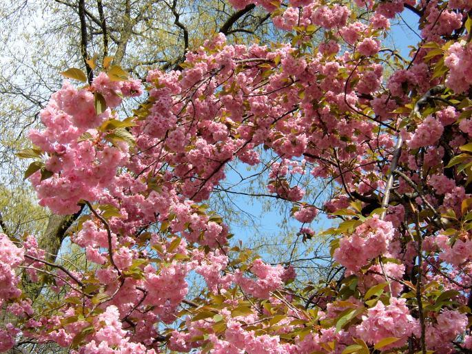 Cherry Blossoms copy