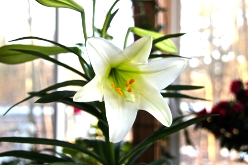 Lily, Easter
