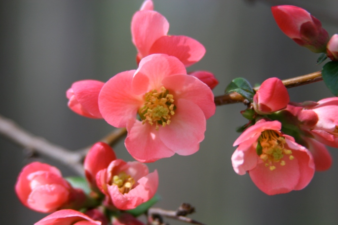 Nectarine Blossoms copy