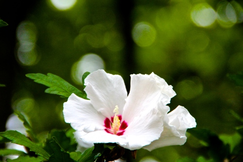 Rose of Sharon White