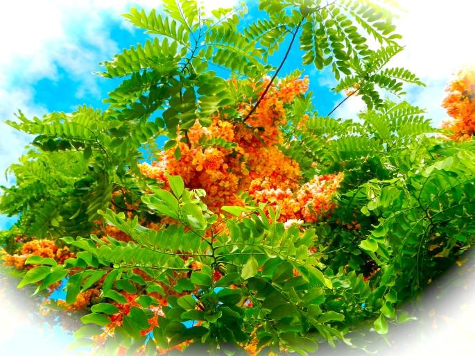 Flowering Tree in Hawaii copy