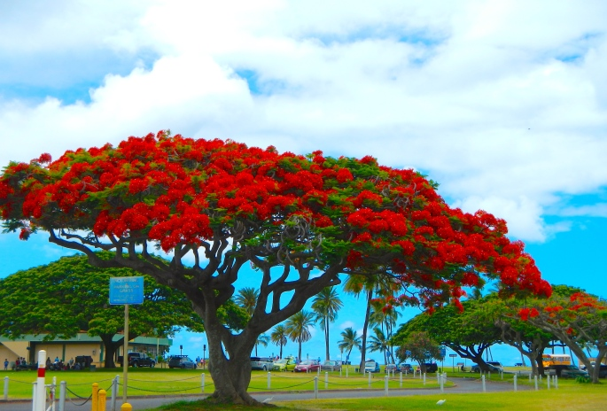 Delonix Regia (Royal Poinciana) Hawaii  copy