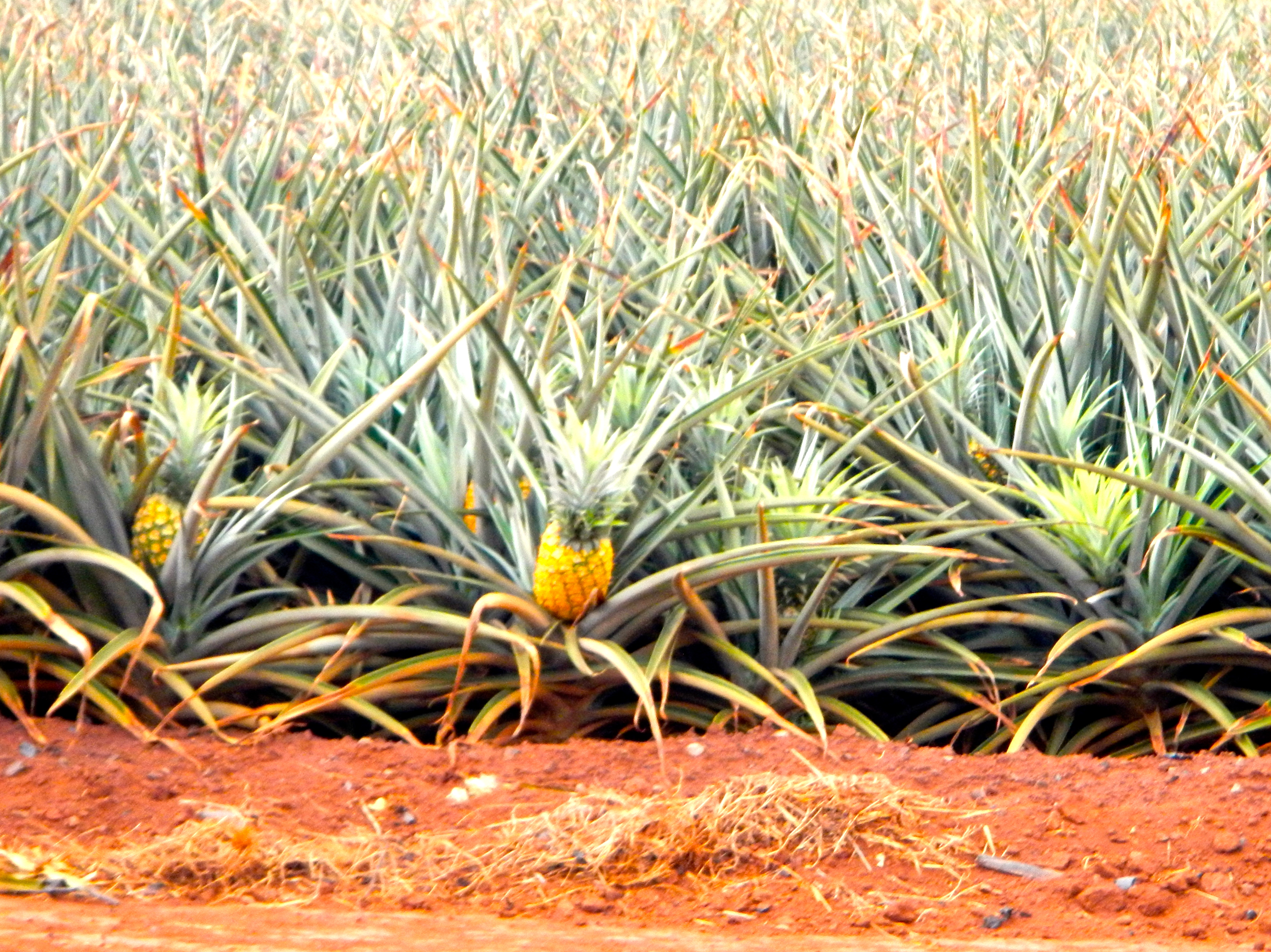 The Dole Plantation: All Aboard the Express Train ...