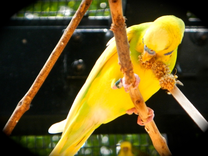 Parakeet Yellow