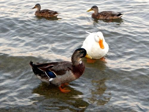 Ducks; mallard and domestic