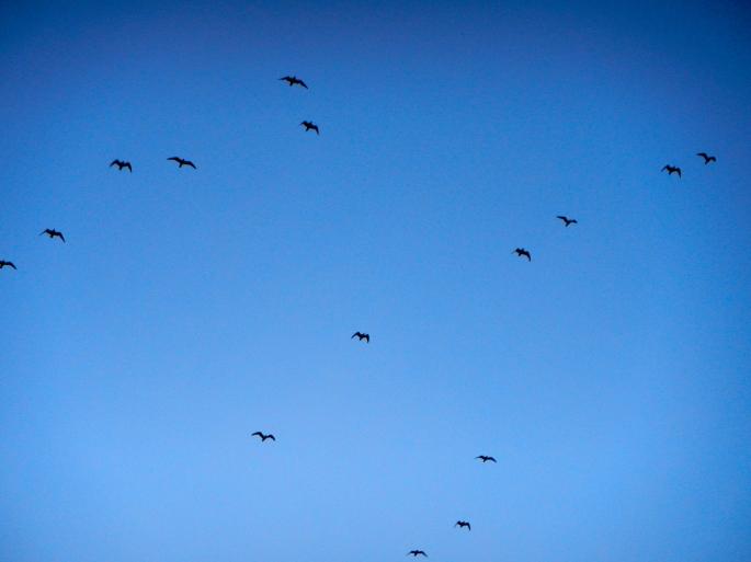 Migrating Birds  copy