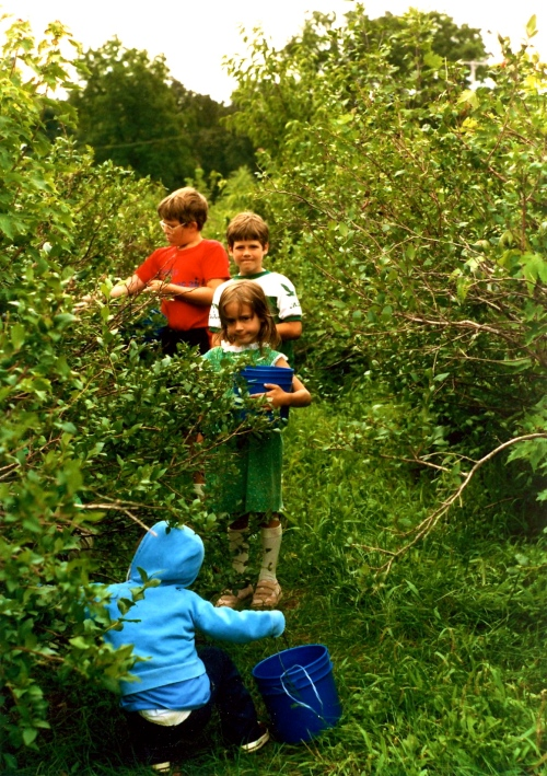 Picking blueberries copy