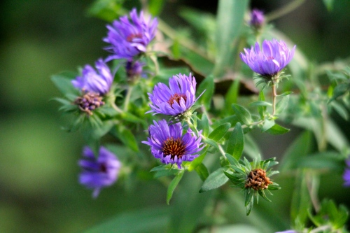 Asters, Purple Fall copy