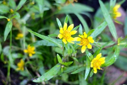 Bur-marigold (Bidens cernua) copy