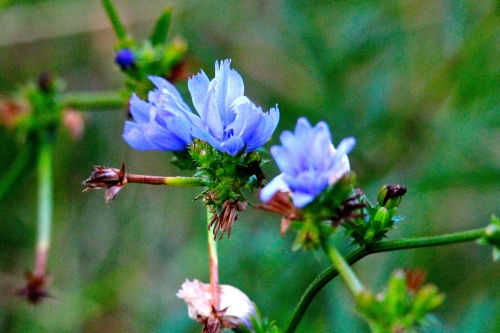 Flax, Blue copy