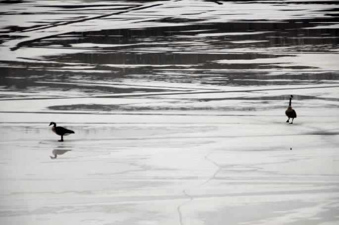 Geese on melting lake