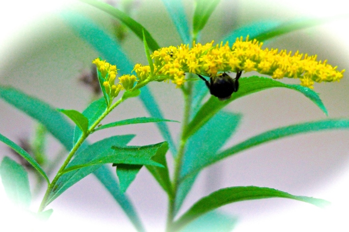 Goldenrod and bee copy