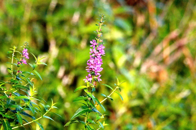 loosestrife copy