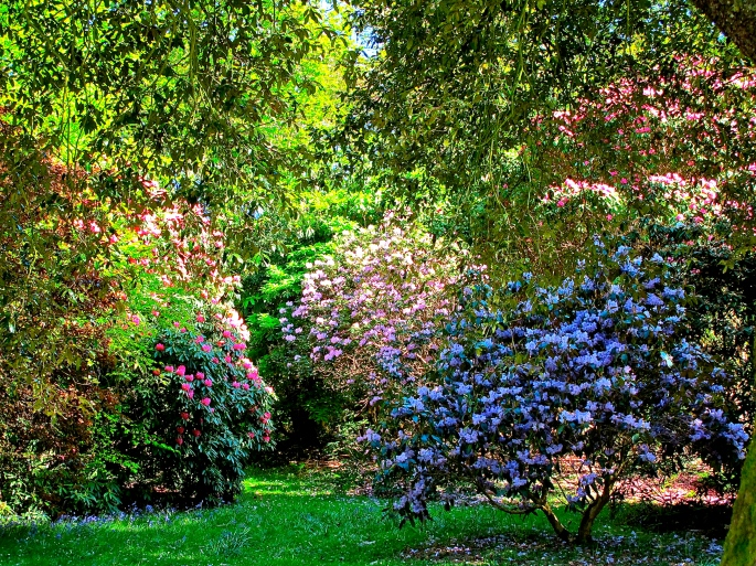 Rhododendrons in Spring copy