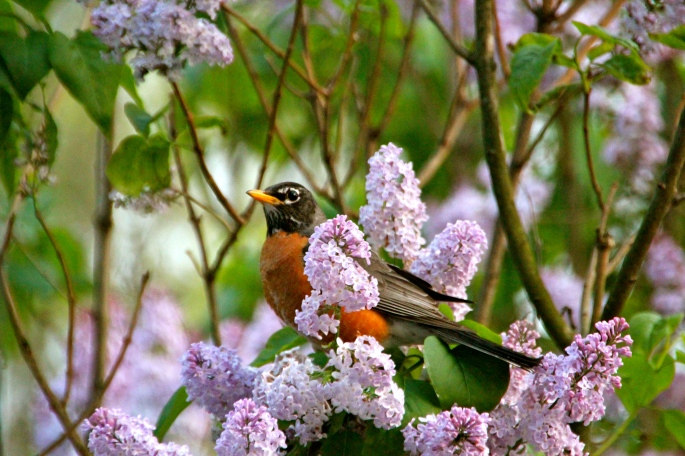 Robin in lilac bush, April 19, 2012