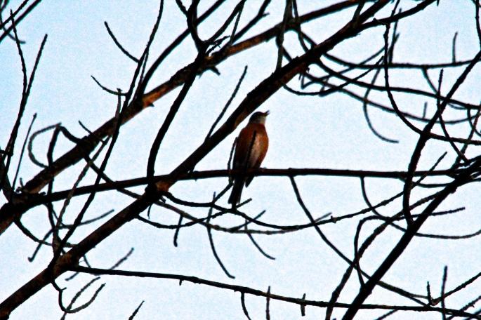 Robin singing at dawn 9.25.13