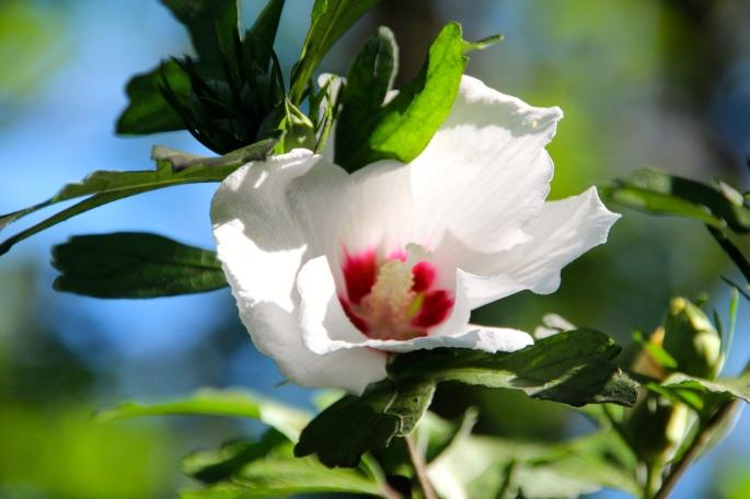 rose-of-sharon