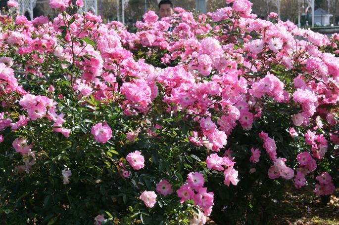 Roses, pink bushes copy