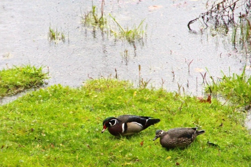 Wood ducks in Rain, April 20, 2012