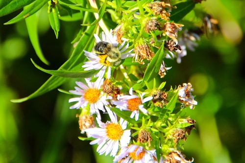 Bee on aster  copy