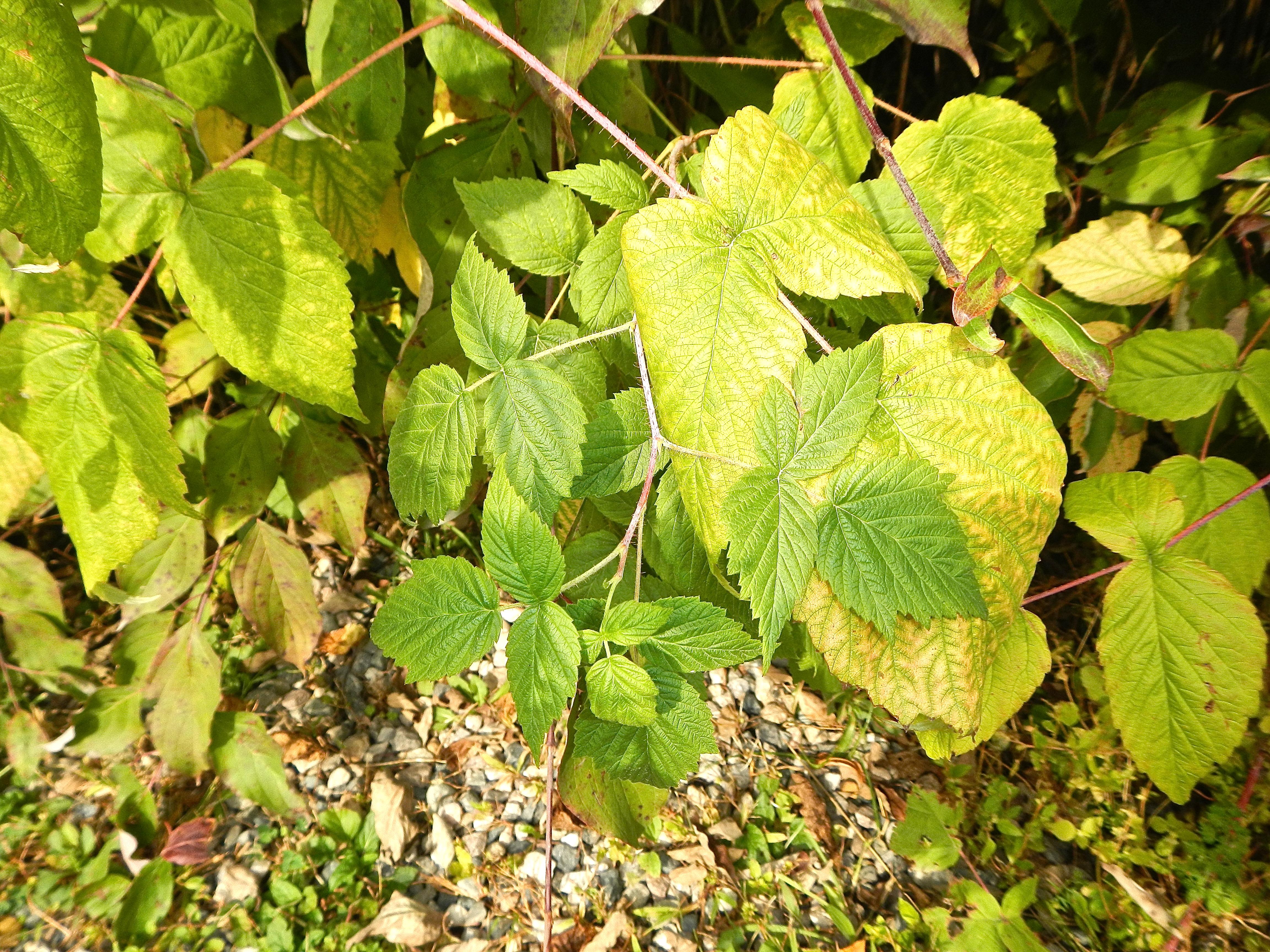 Recognizing Poison Ivy Virginia Creeper Nightshade 1