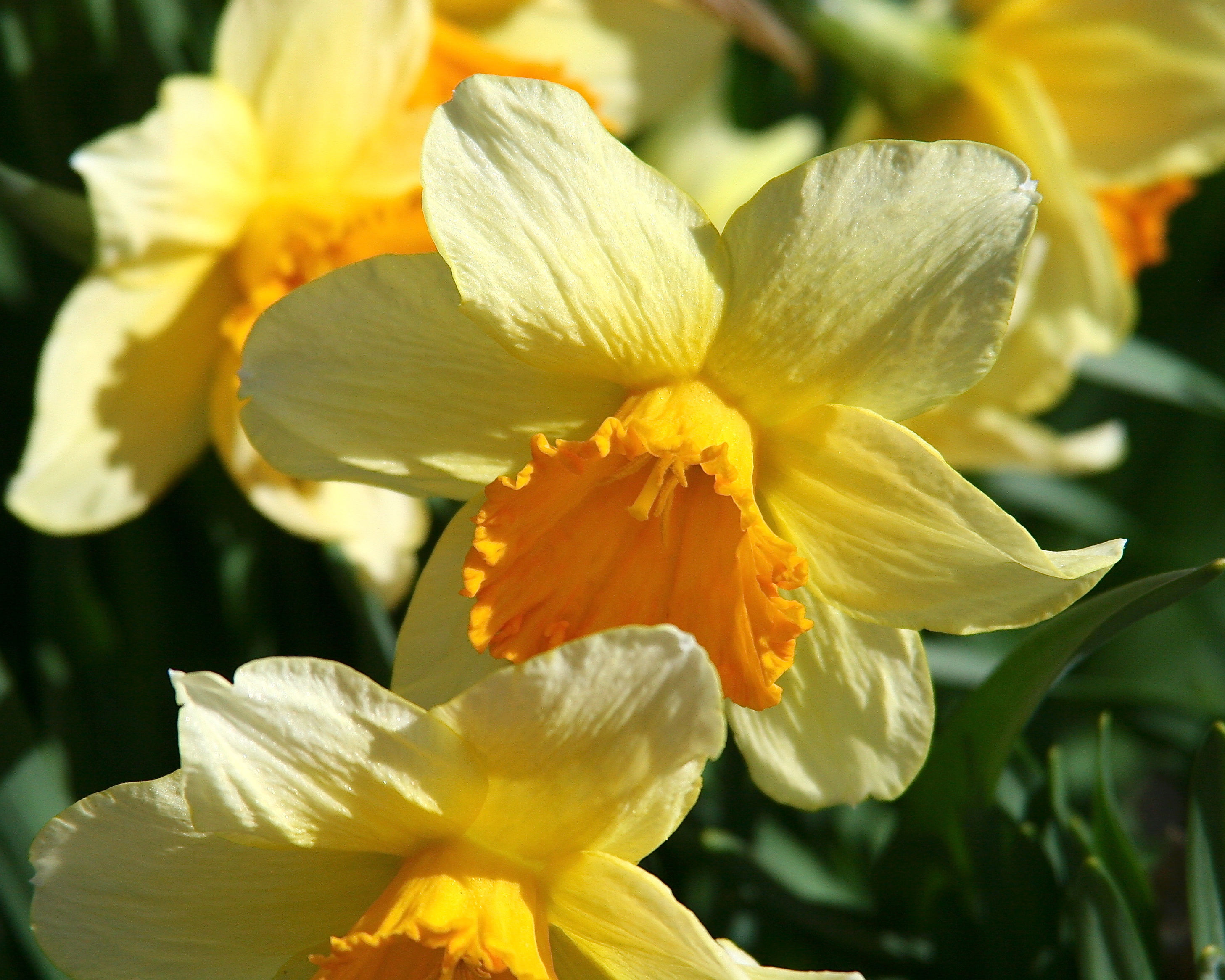 Yellow Daffodils Song Daffodils Copy