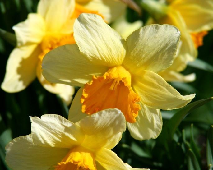 037 Daffodils copy