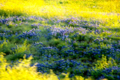 Blue Bonnets Texas