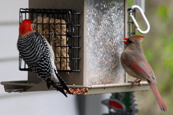 Flicker and female cardinal