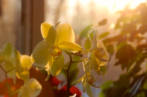 Orchids in our Garden Room
