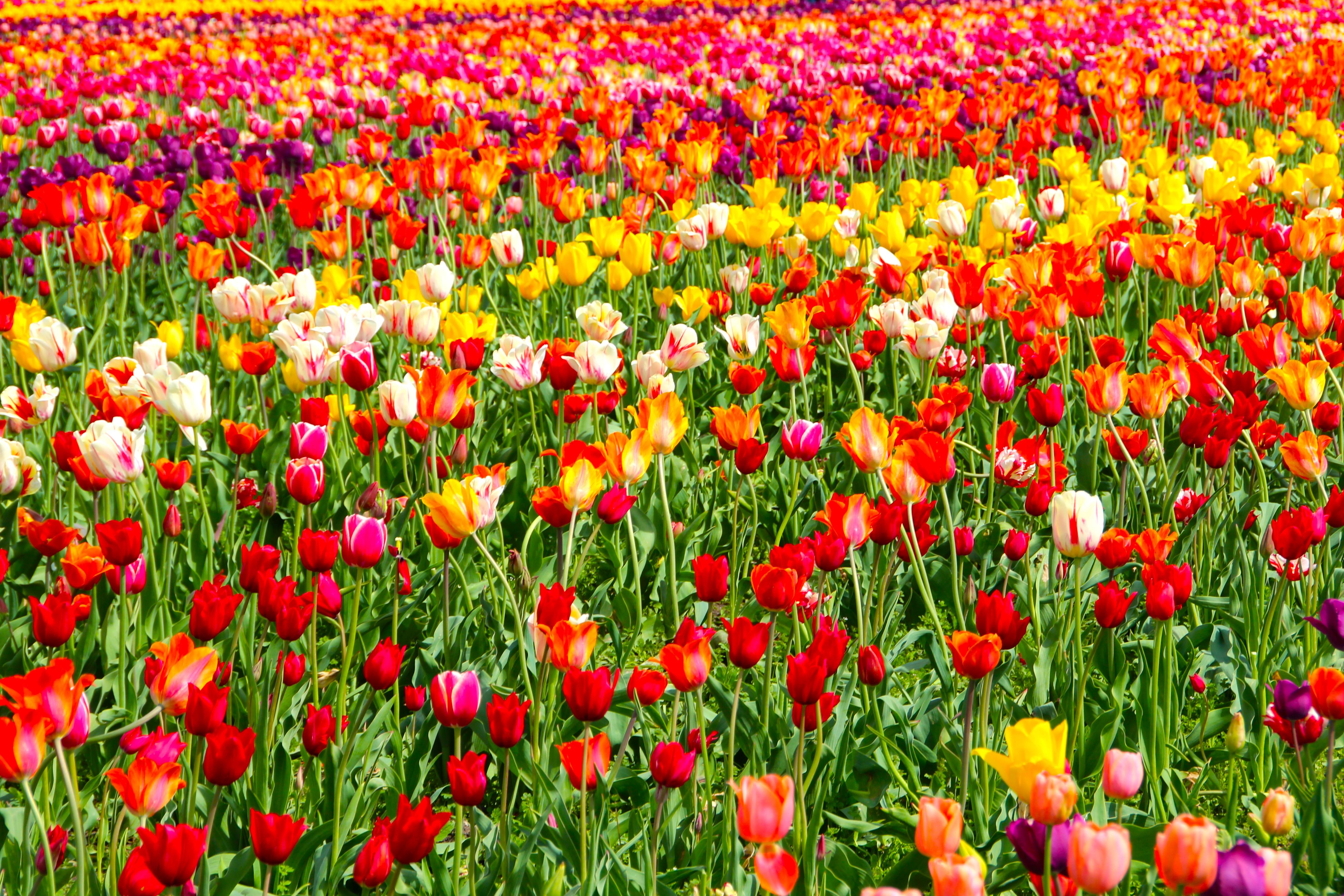 тюльпаны поляна закат  № 3285866 бесплатно