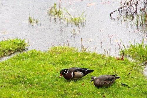 Wood ducks in Rain, April 20, 2012  copy 2