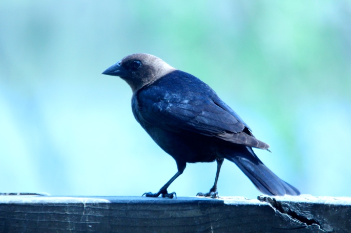 Brown-headed Cowbird 5.7.13